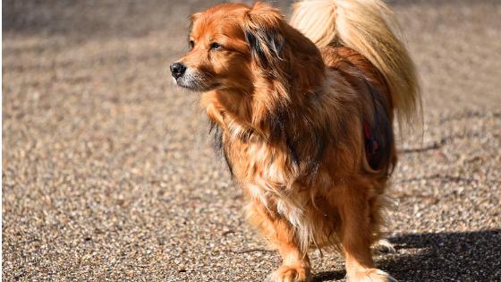 Perro de pelo largo en su paseo diario