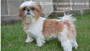EL Shih tzu excelente animal de compañía