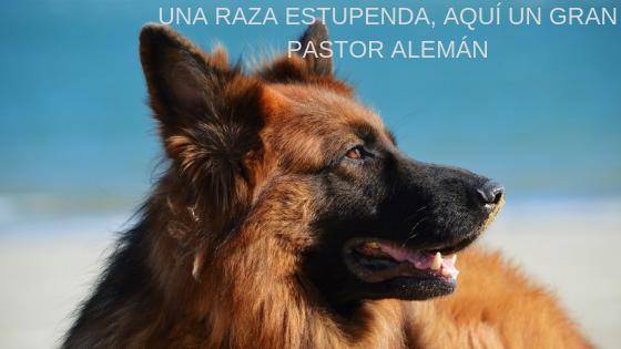 Pastor Alemán, fiel compañero