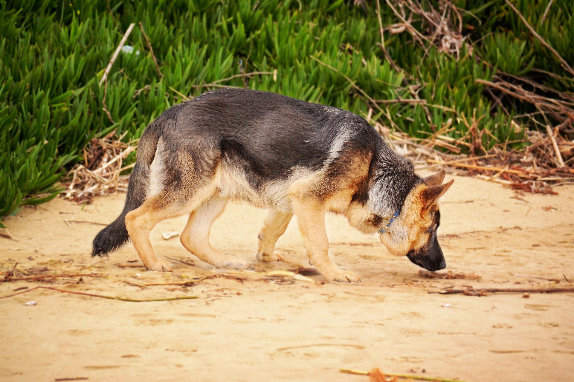 El olfato el sentido más desarrollado del perro con diferencia